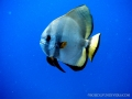batfish-int-he-blue